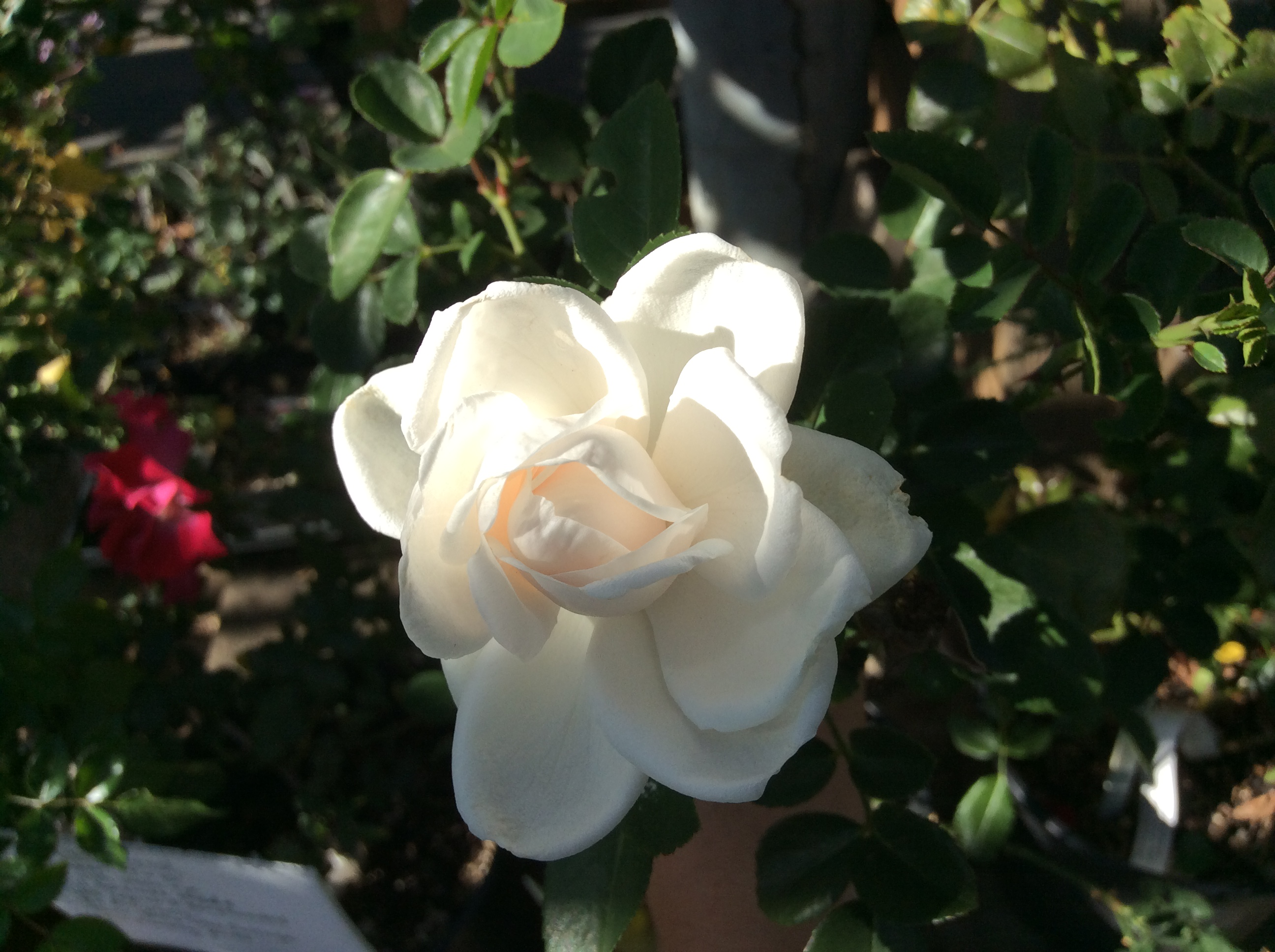 New Dawn | Climbing Rose | Recurring Fragrant Blooms | Tolerates Shade