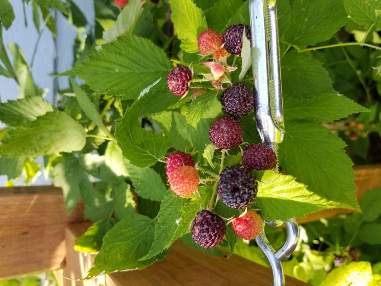 'Niwot Black' Raspberry