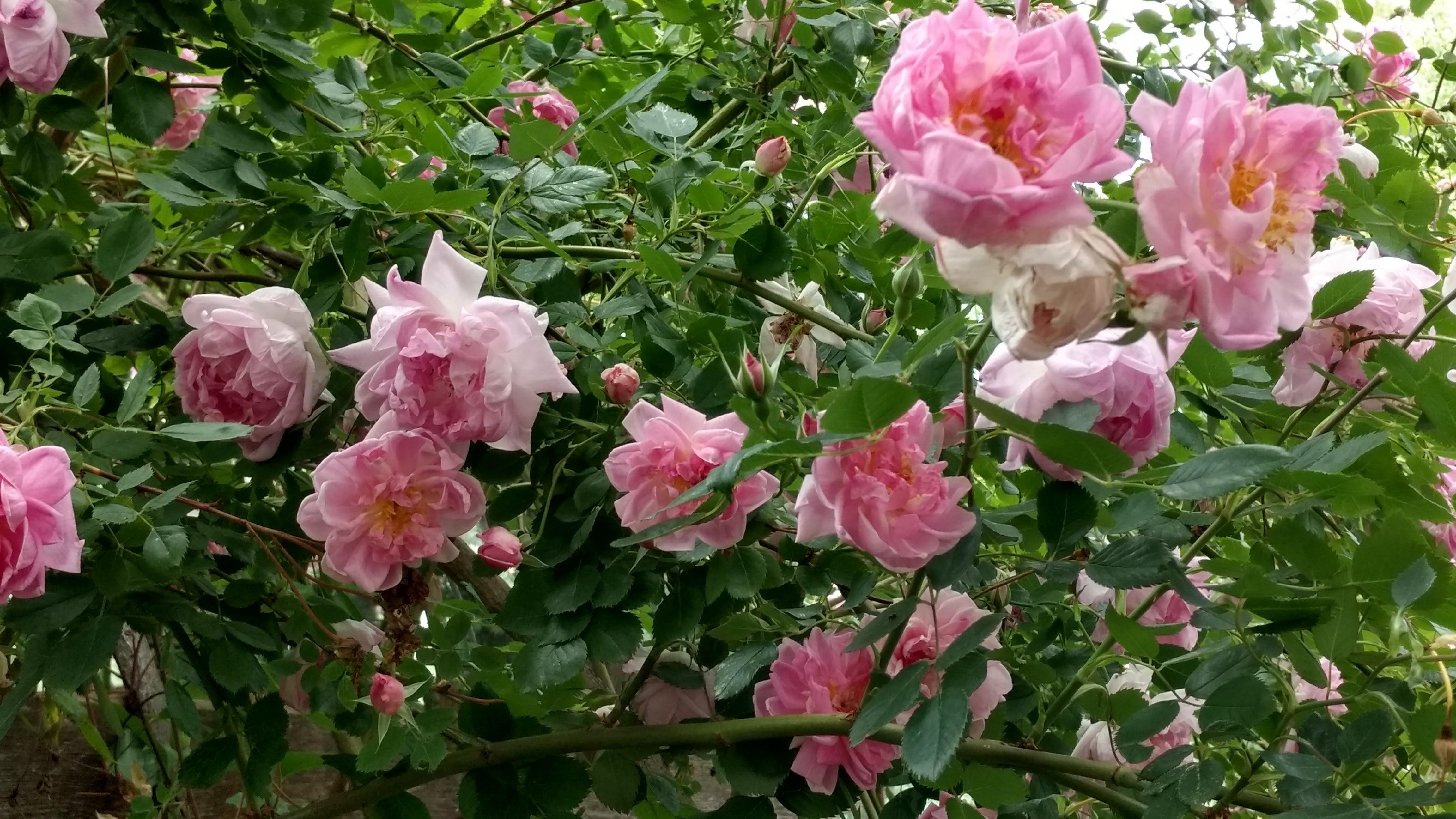Rosa 'Victorian Memory'