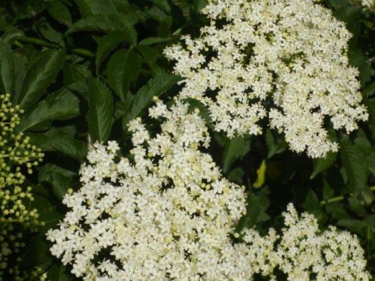 Sambucus nigra 4