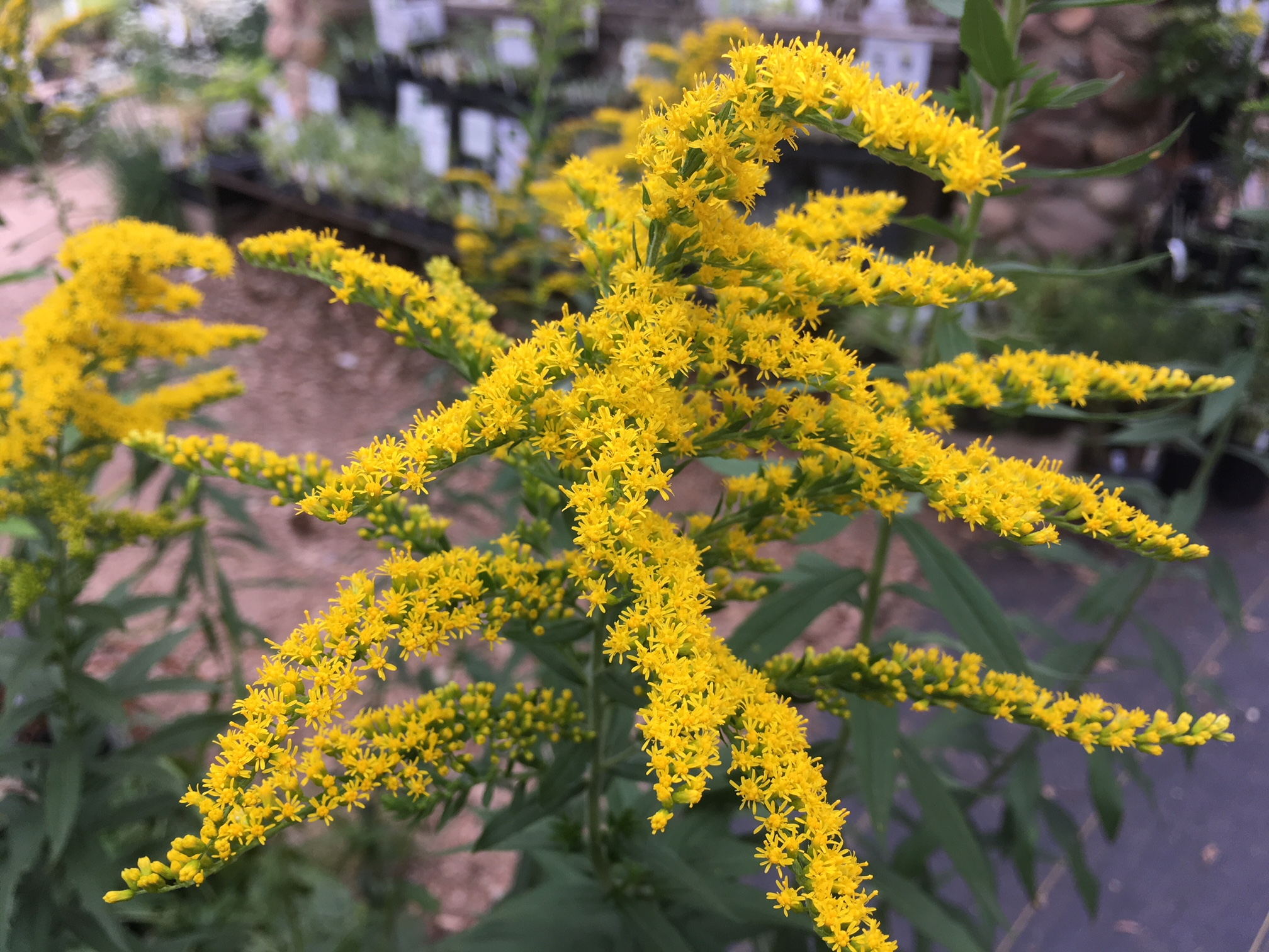 Solidago 'Crown of Rays'1