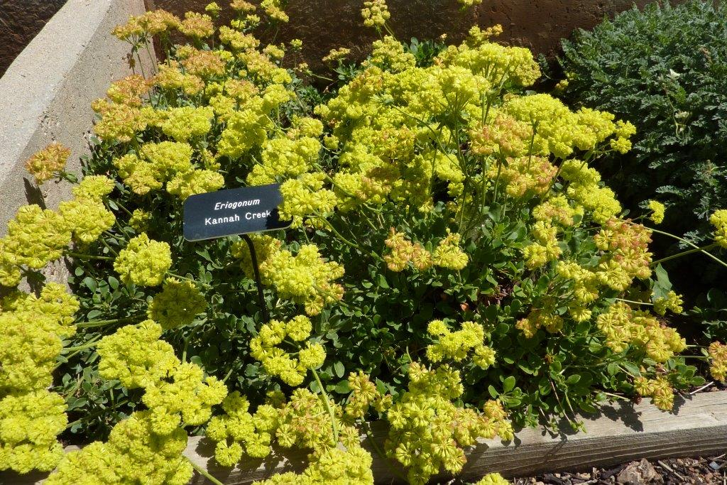 Eriogonum 'Kannah Creek'