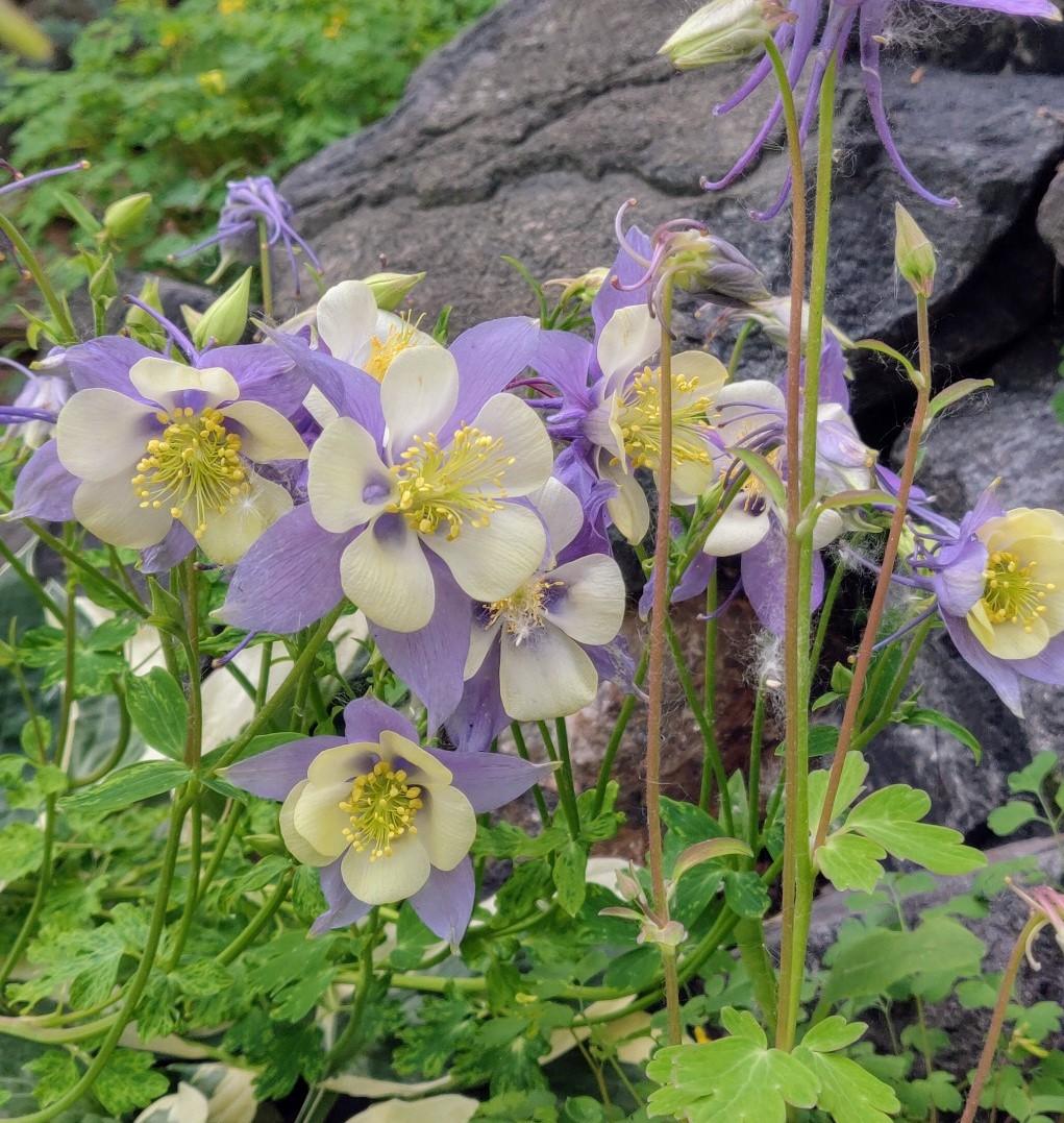 Aquilegia caerulea Rocky Mt. Columbine (2)