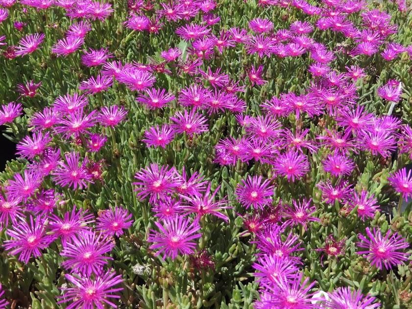 delosperma purple hardy
